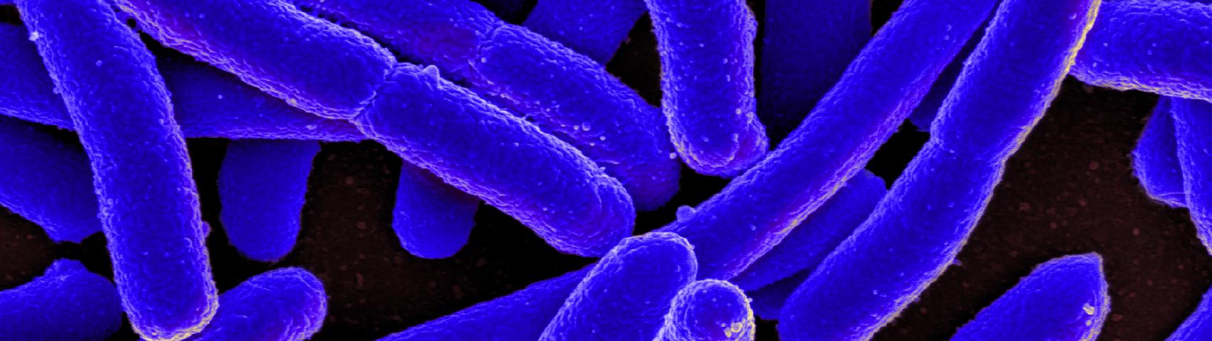 E.coli bacteria