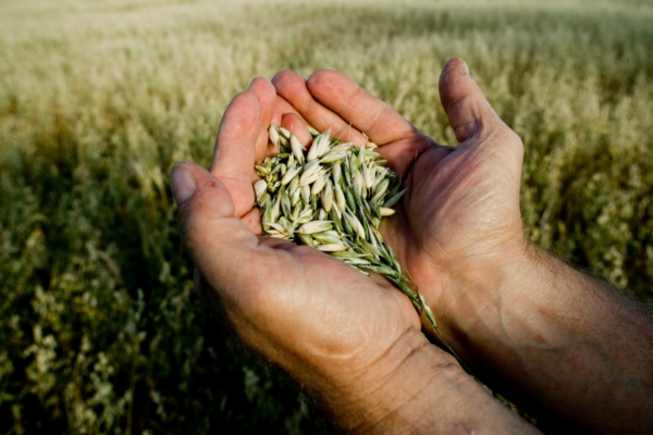 Wheat in a farmers hand